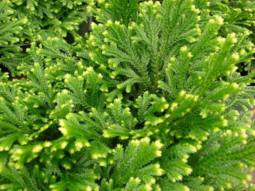 Selaginella crecida