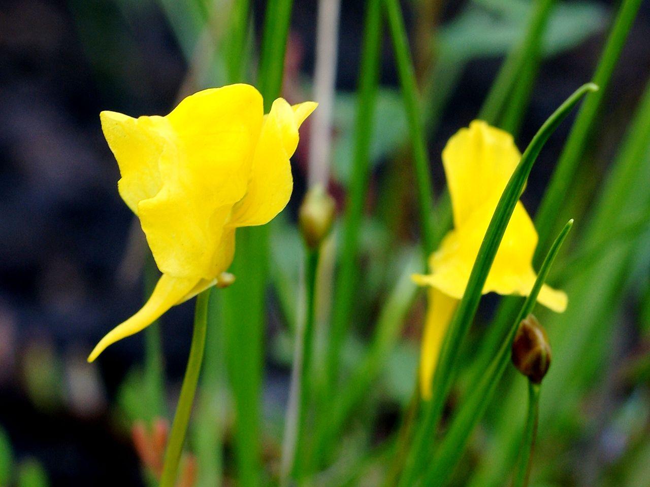 Las flores de la Utricularia cornuta son amarillas