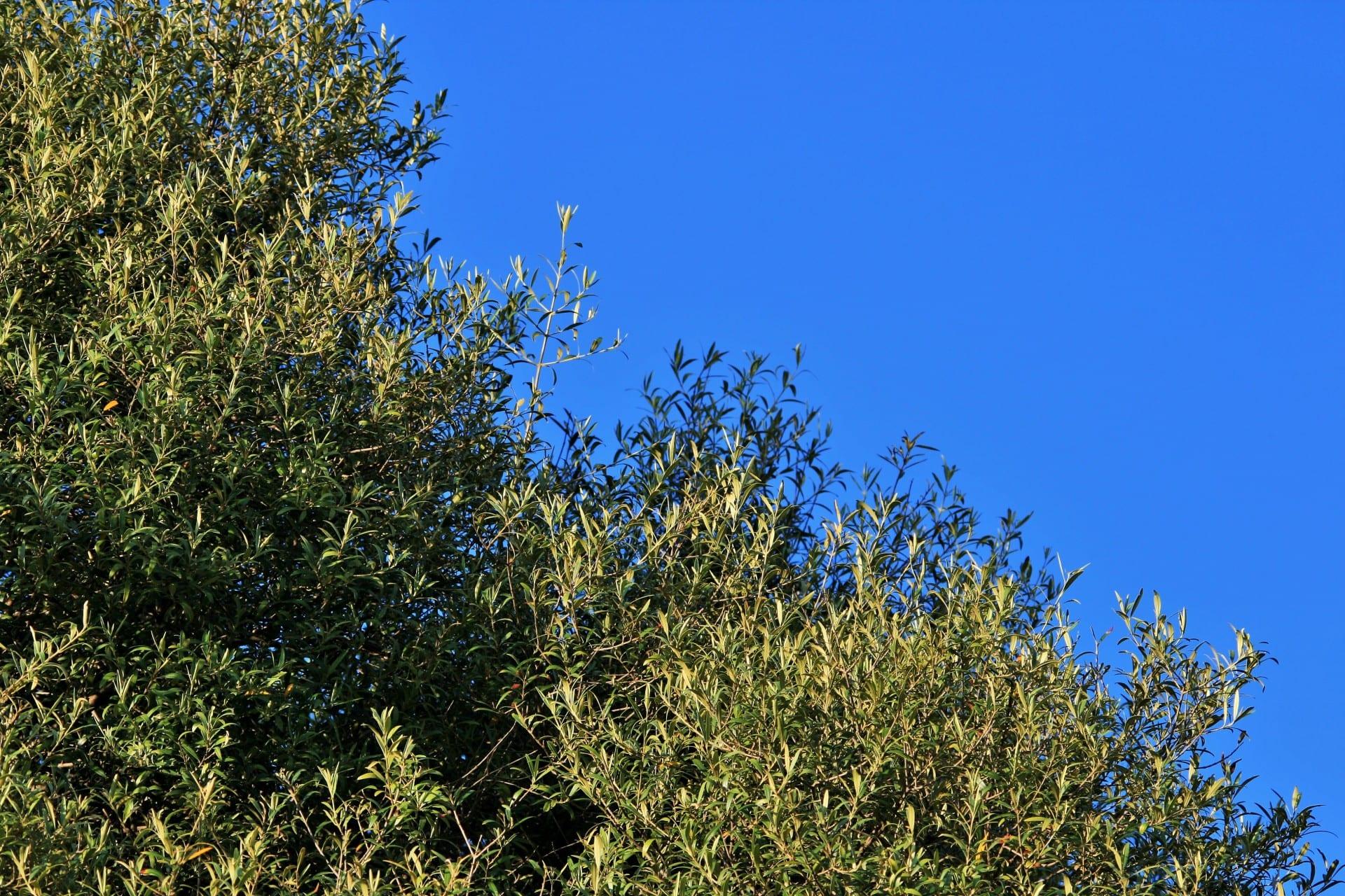 El acebuche es un árbol mediterráneo