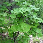 El Acer opalus es un árbol caducifolio