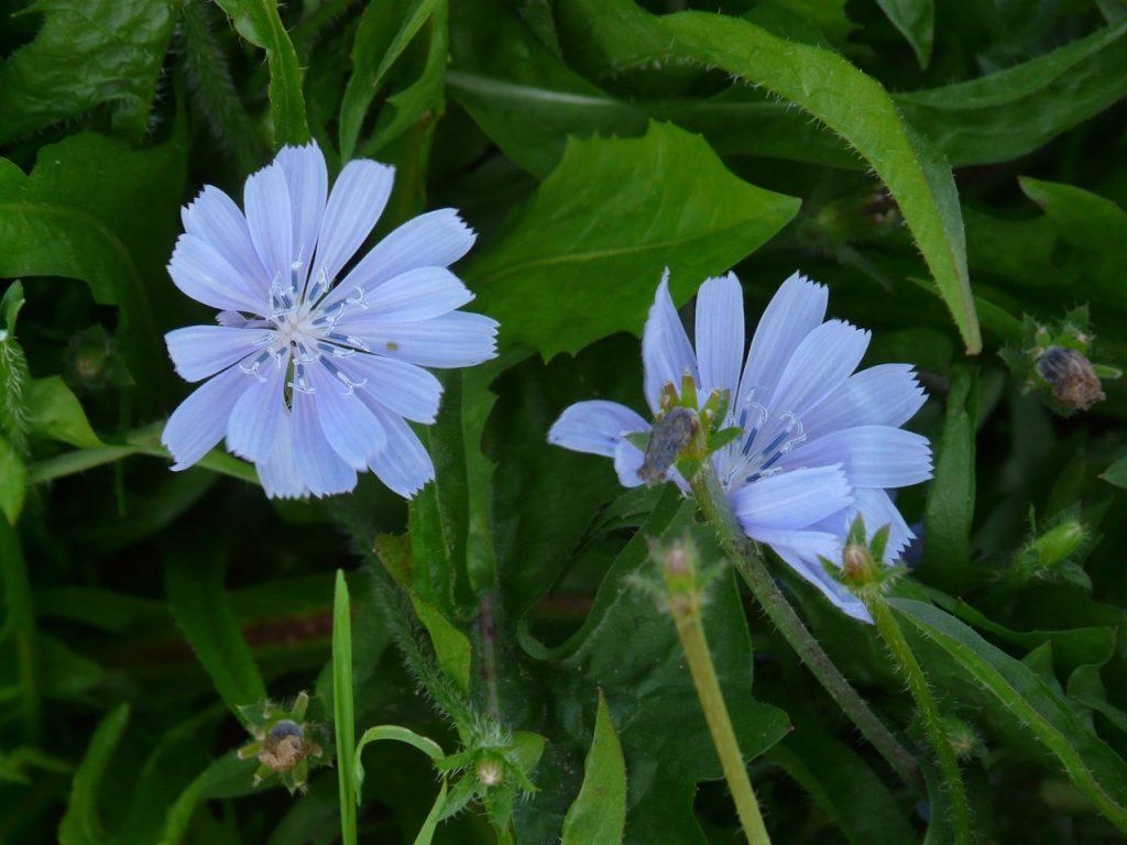 Las flores de la achicoria son azules