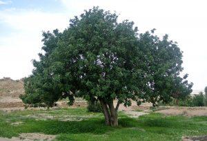 El algarrobo es un árbol mediterráneo