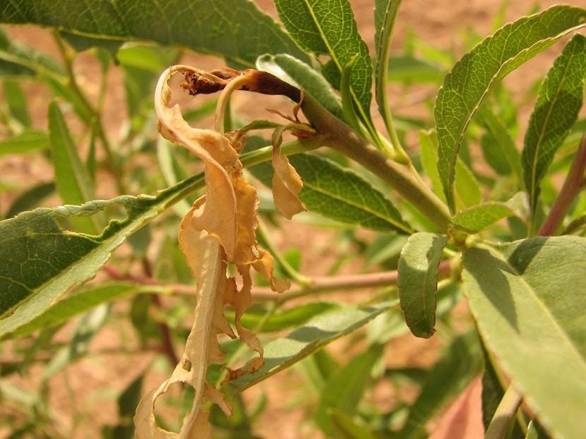 imagen de Anarsia lineatella en grande