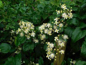 arbusto con flores blancas de muchos petalos