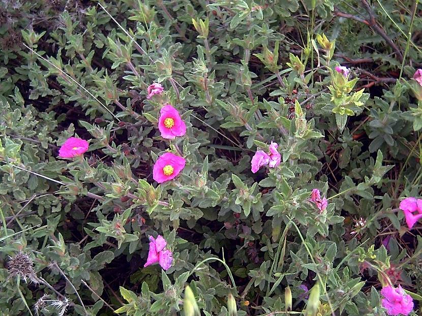 arbusto con flores rosas llamado Cistus Crispus