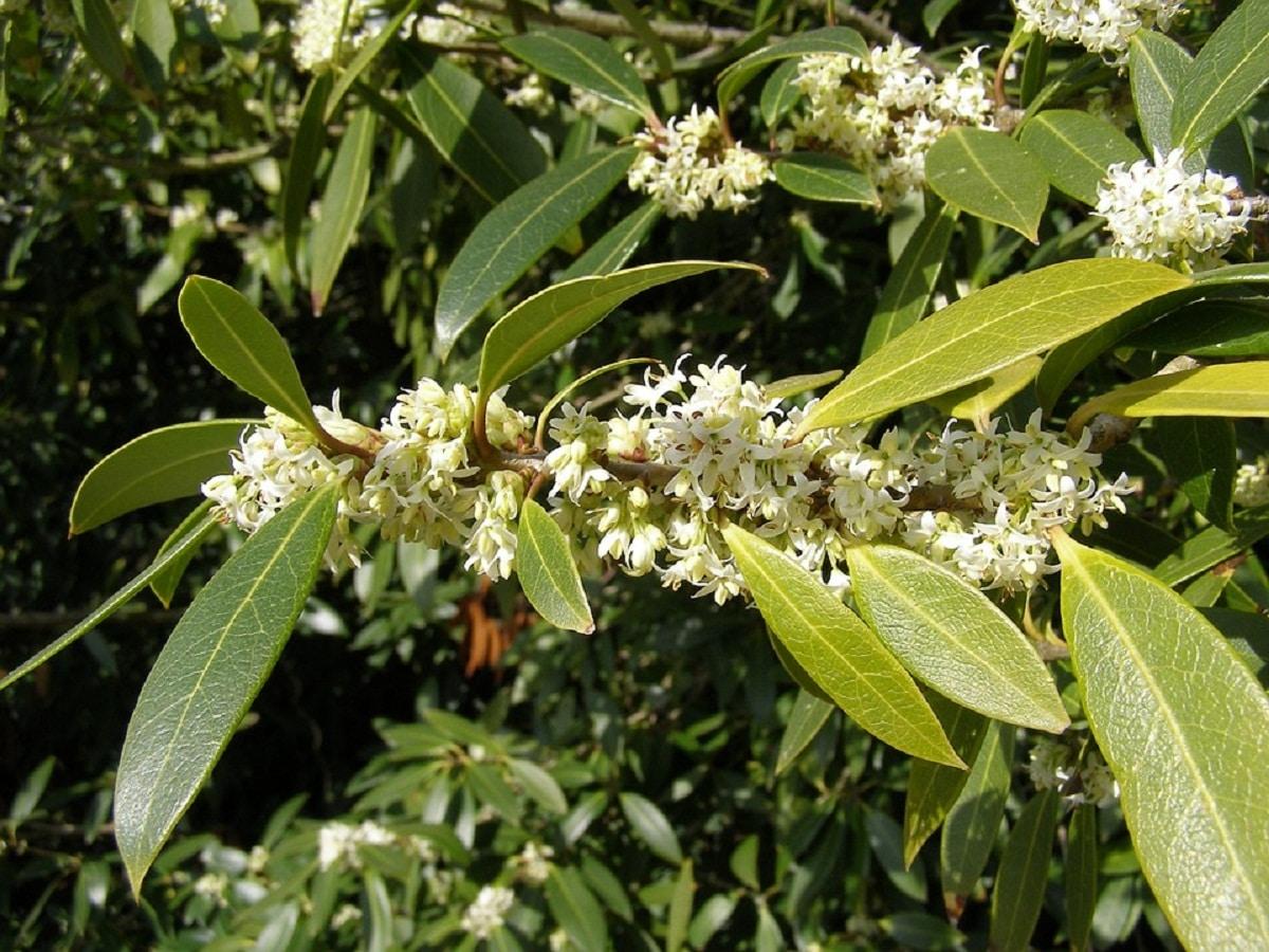 arbusto con ramas llenas de flores blancas