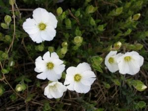 Las flores de la arenaria son blancas