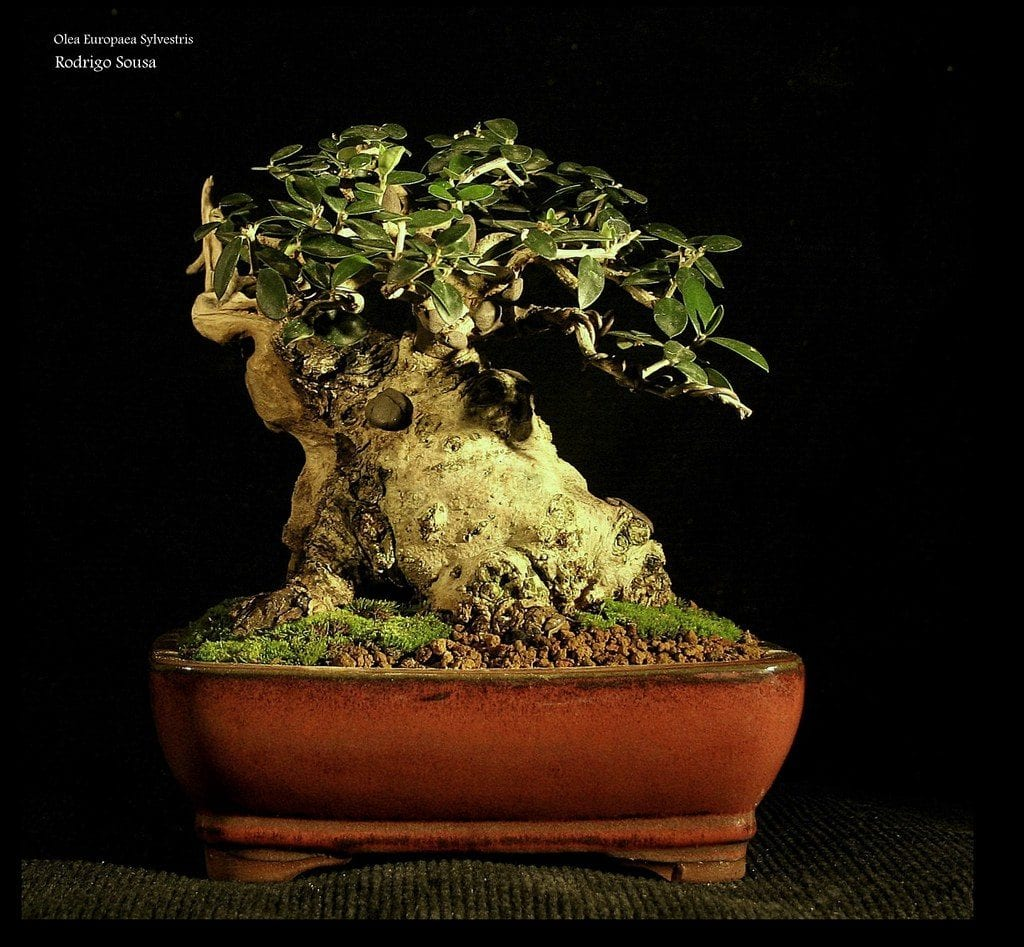 El acebuche se puede tener como bonsai