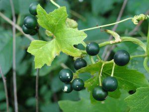 Vista de la Bryonia alba con frutos