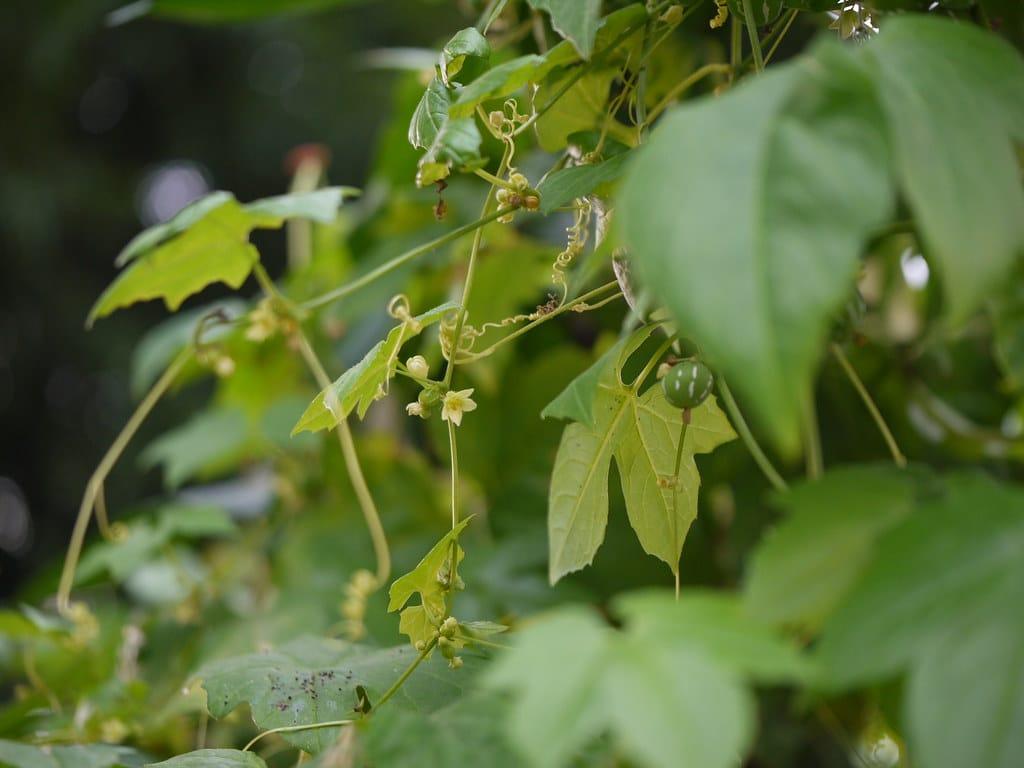 Vista de la Bryonia laciniosa
