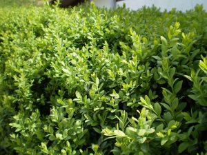 Vista del Buxus sempervirens