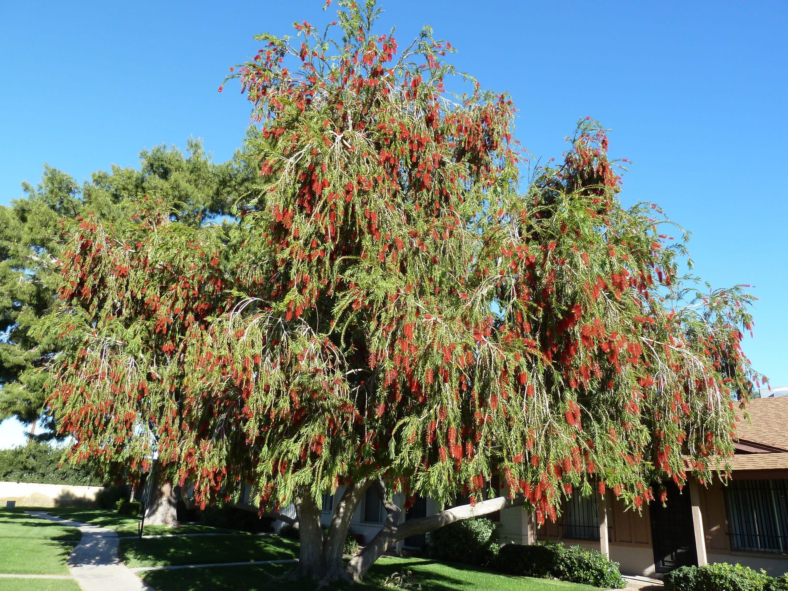 El Callistemon viminalis es un árbol de poca altura