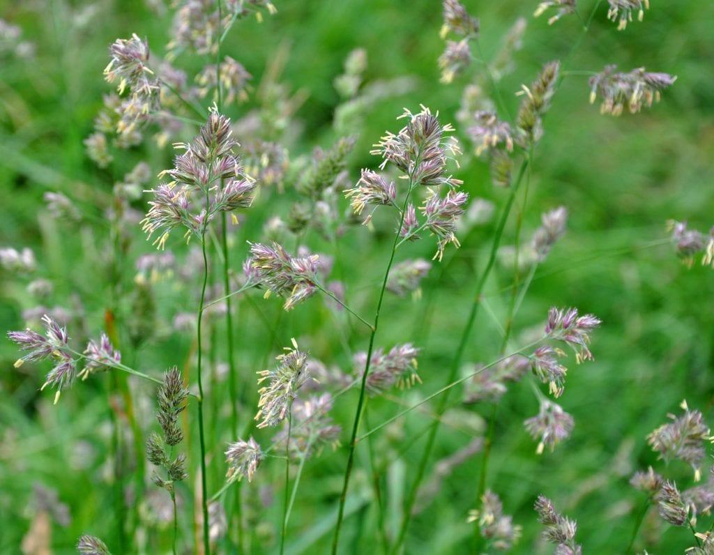 Las flores de la Dactylis glomerata son espigas