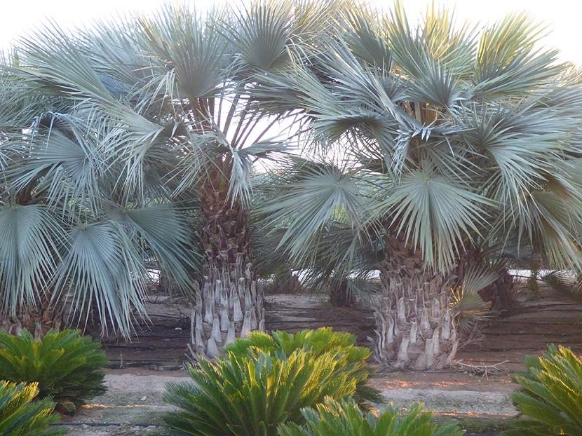 palmeras con grandes hojas