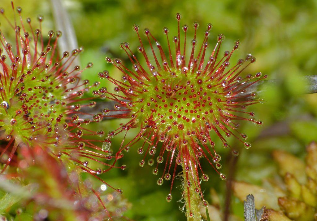 Vista de la Drosera rotundifolia