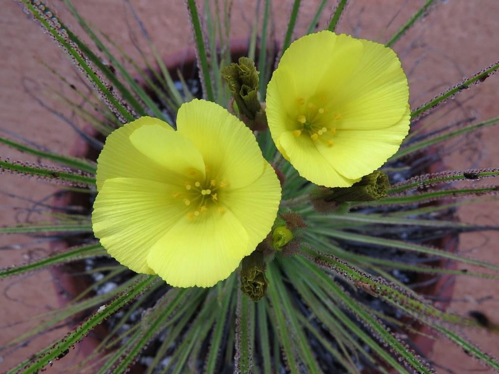 Las flores del Drosophyllum lusitanicum son amarillas