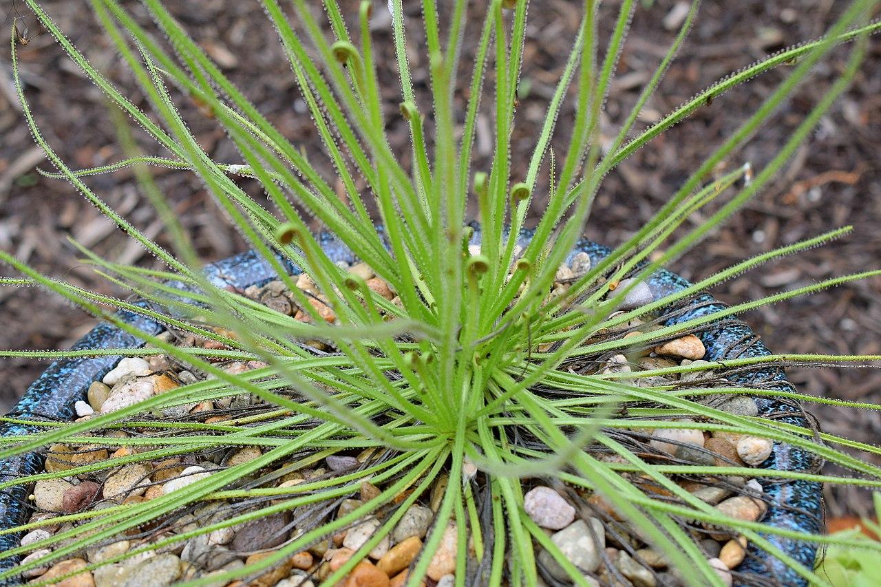El Drosophyllum lusitanicum es una planta carnívora