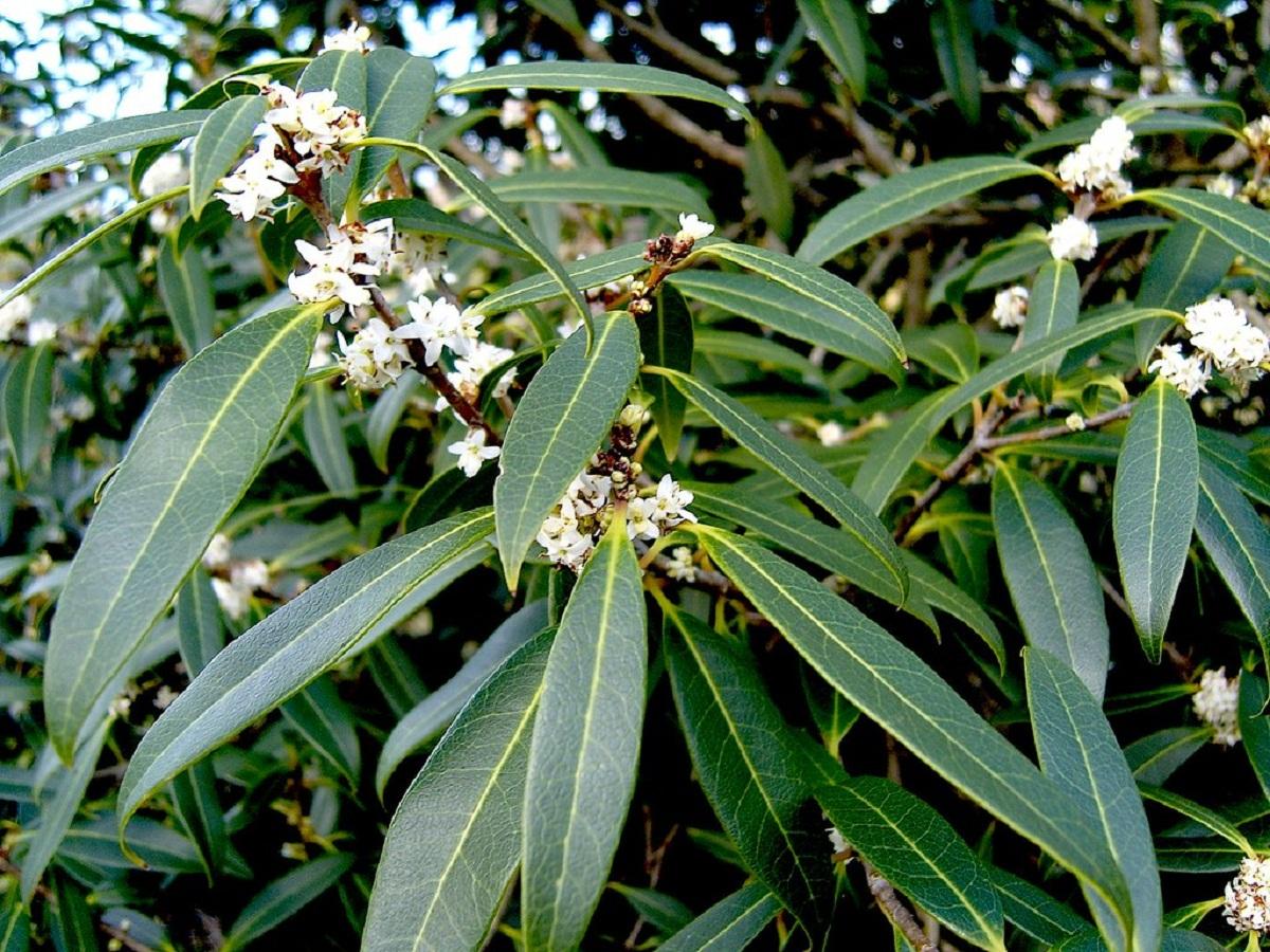especie de Osmanthus con flores blancas