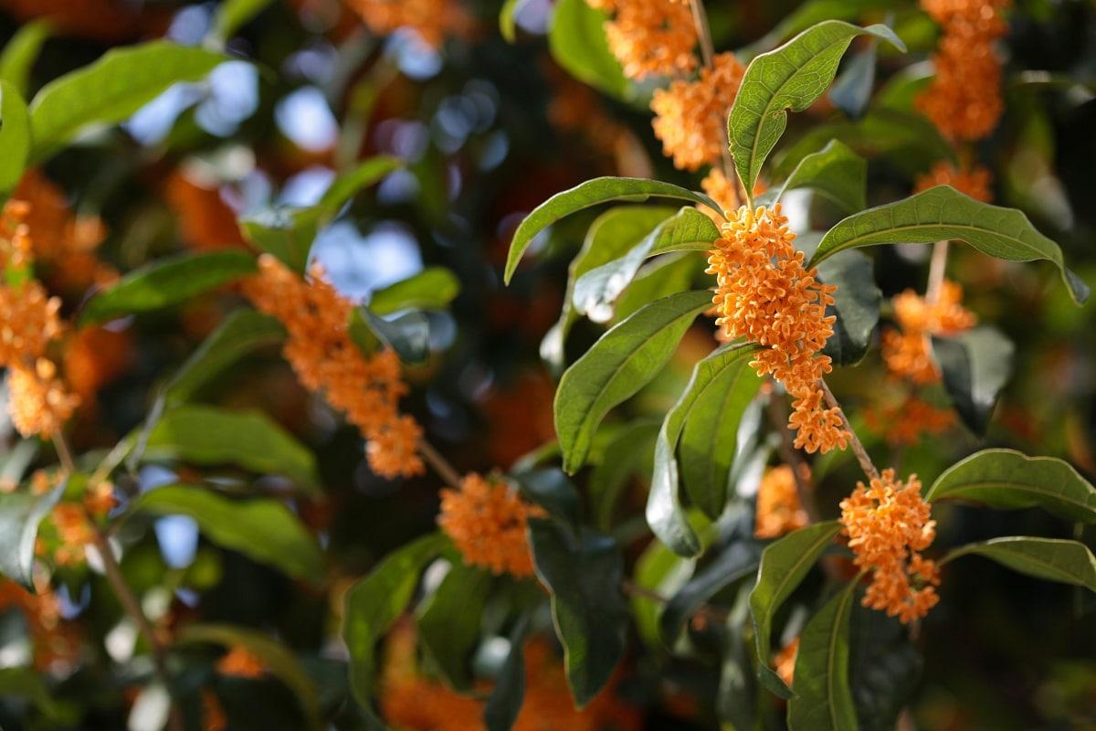 especie de Osmanthus con flores naranjas