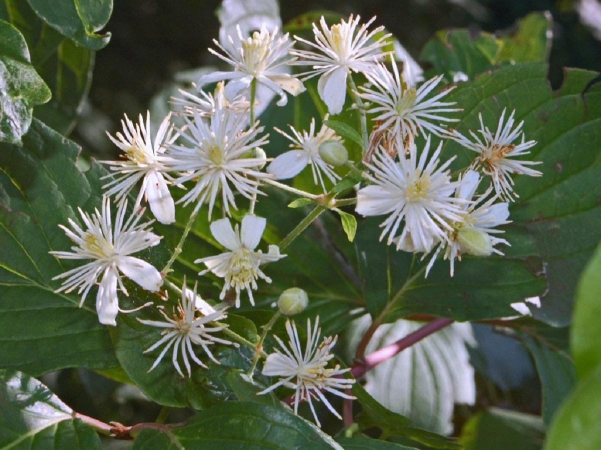 flores blancas del Clematis vitalba