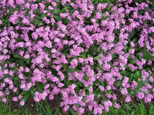 flores de la planta Myosotis sylvatica de color rosa