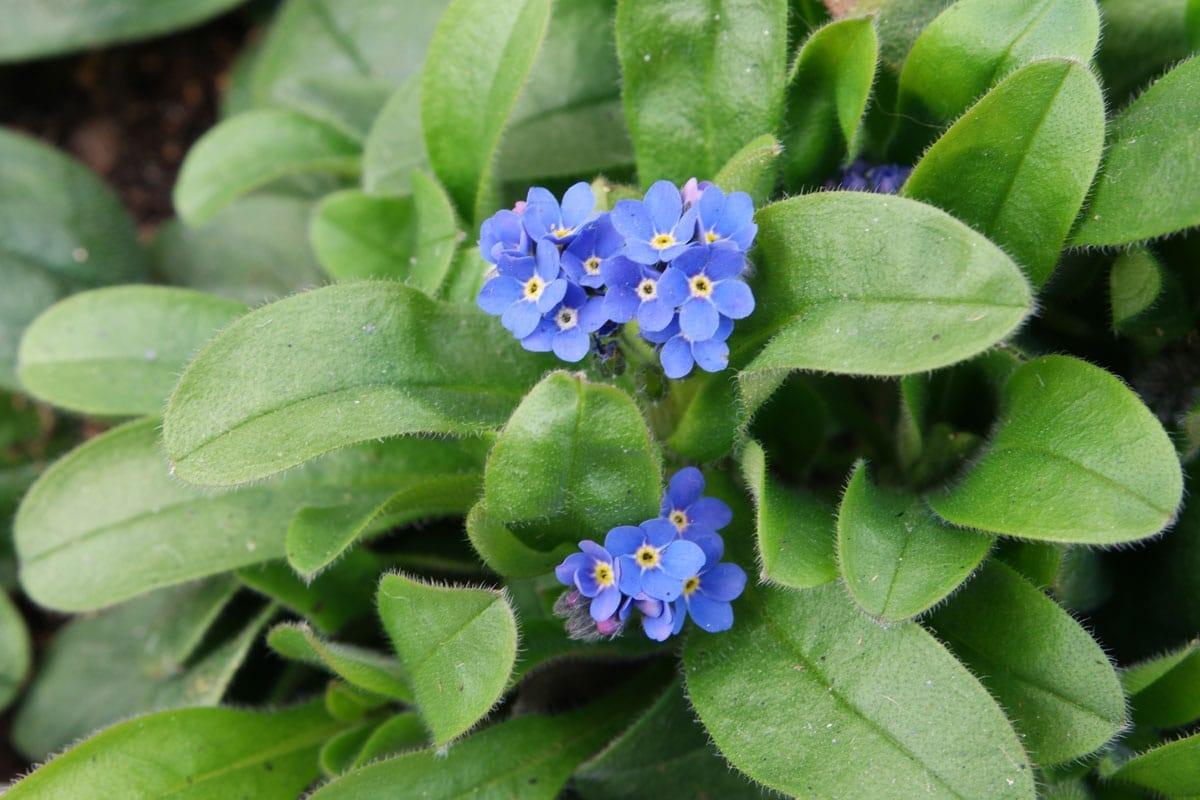 flores pequenas y moradas de la planta Myosotis sylvatica