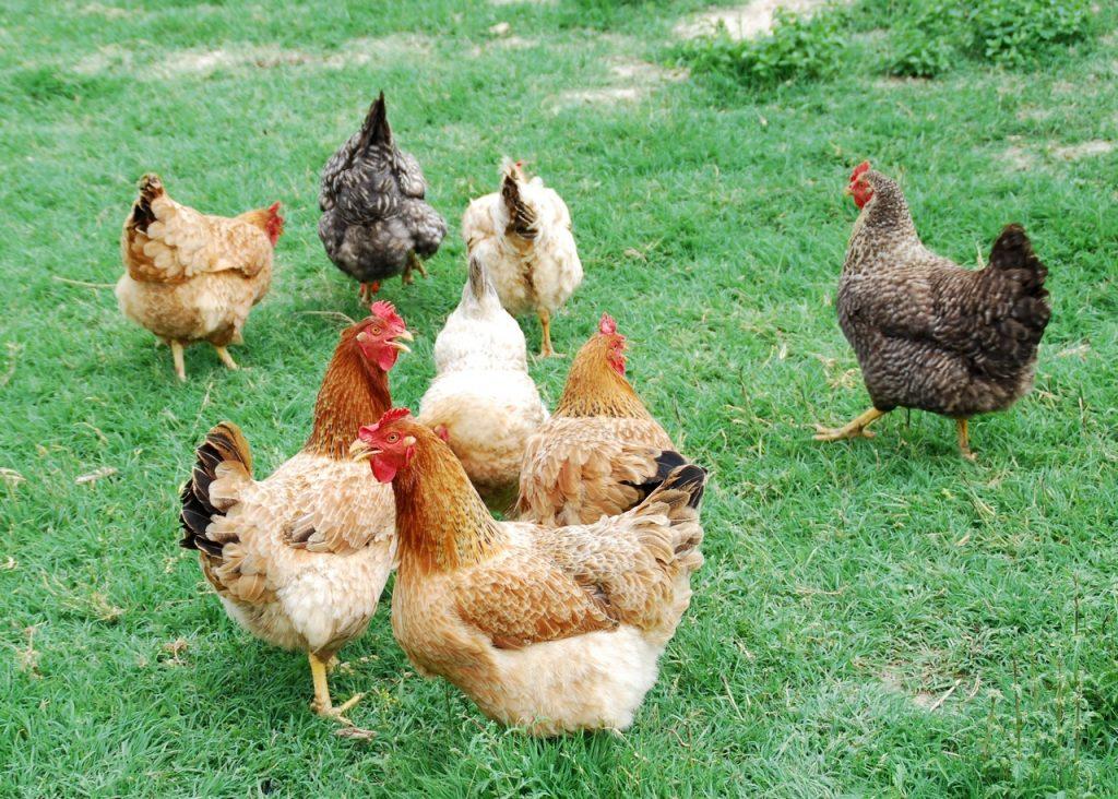 Las gallinas son animales ideales para jardines rústicos