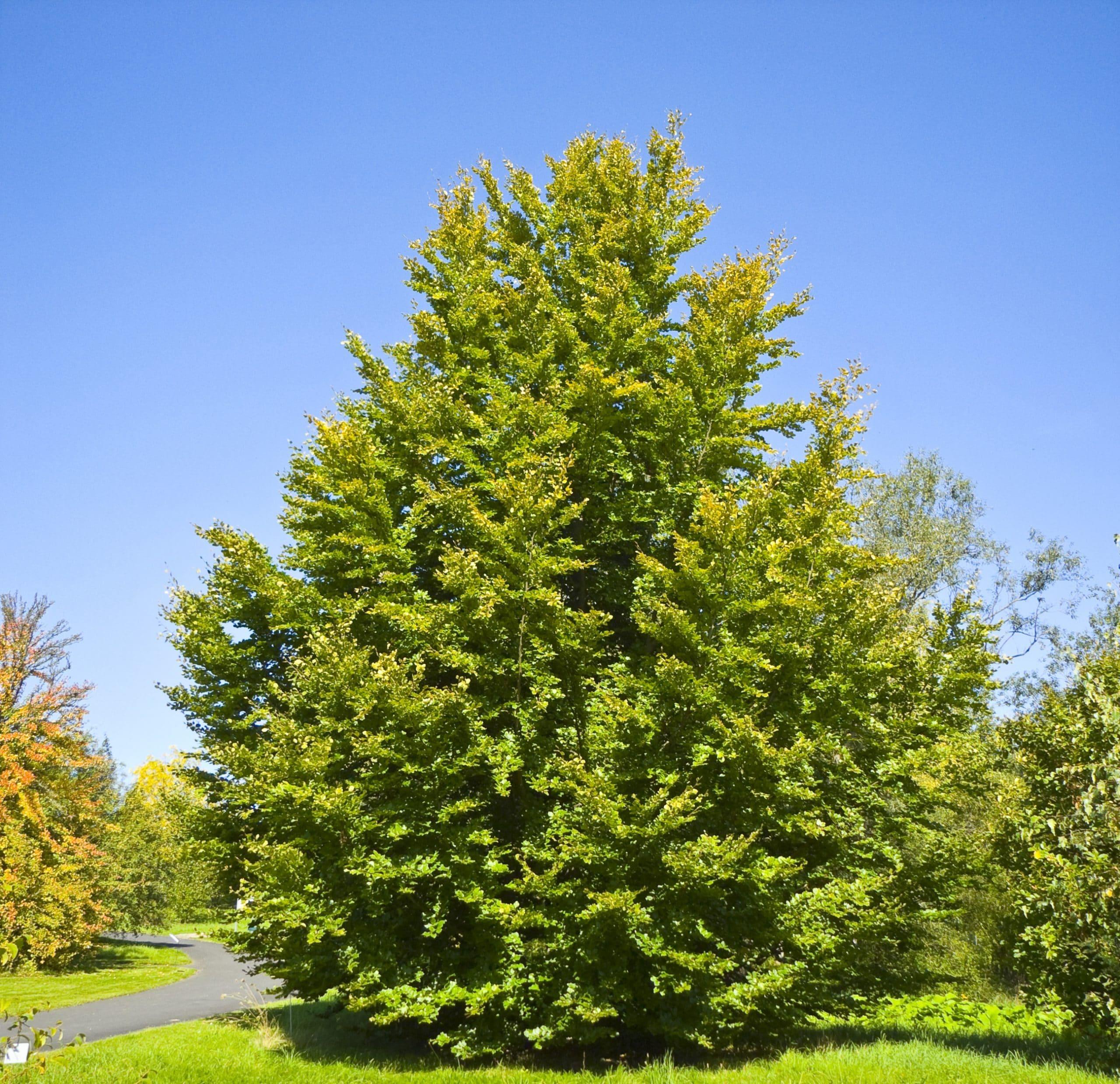 El haya es un árbol majestuoso