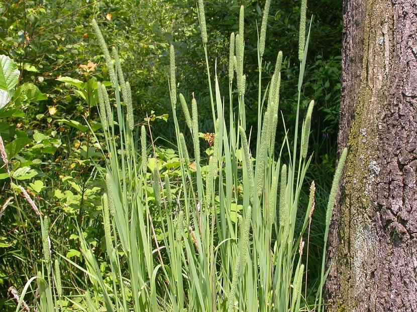 hierba timotea o Phleum pratense al lado de un árbol