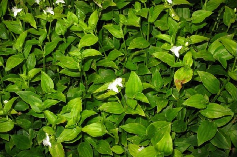 hojas pequenas y de color verde de la Tradescantia fluminensis