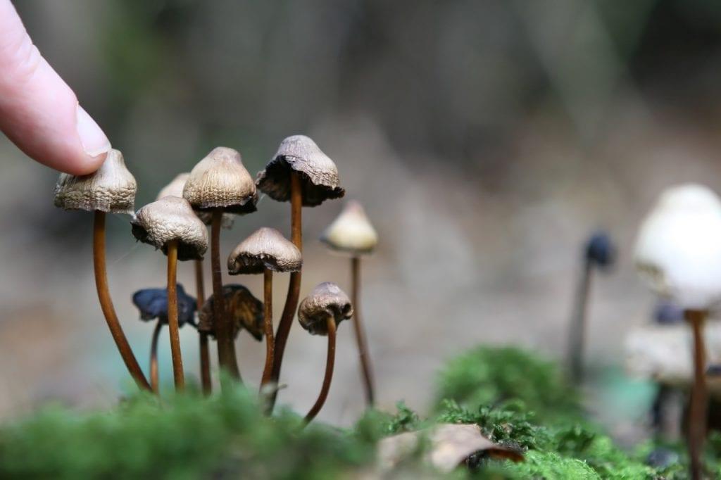 Los hongos alucinógenos son ilegales