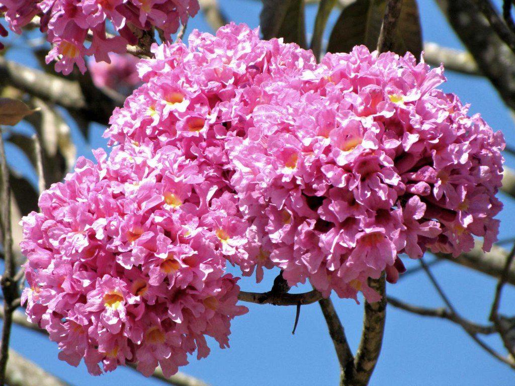 Vista del lapacho en flor