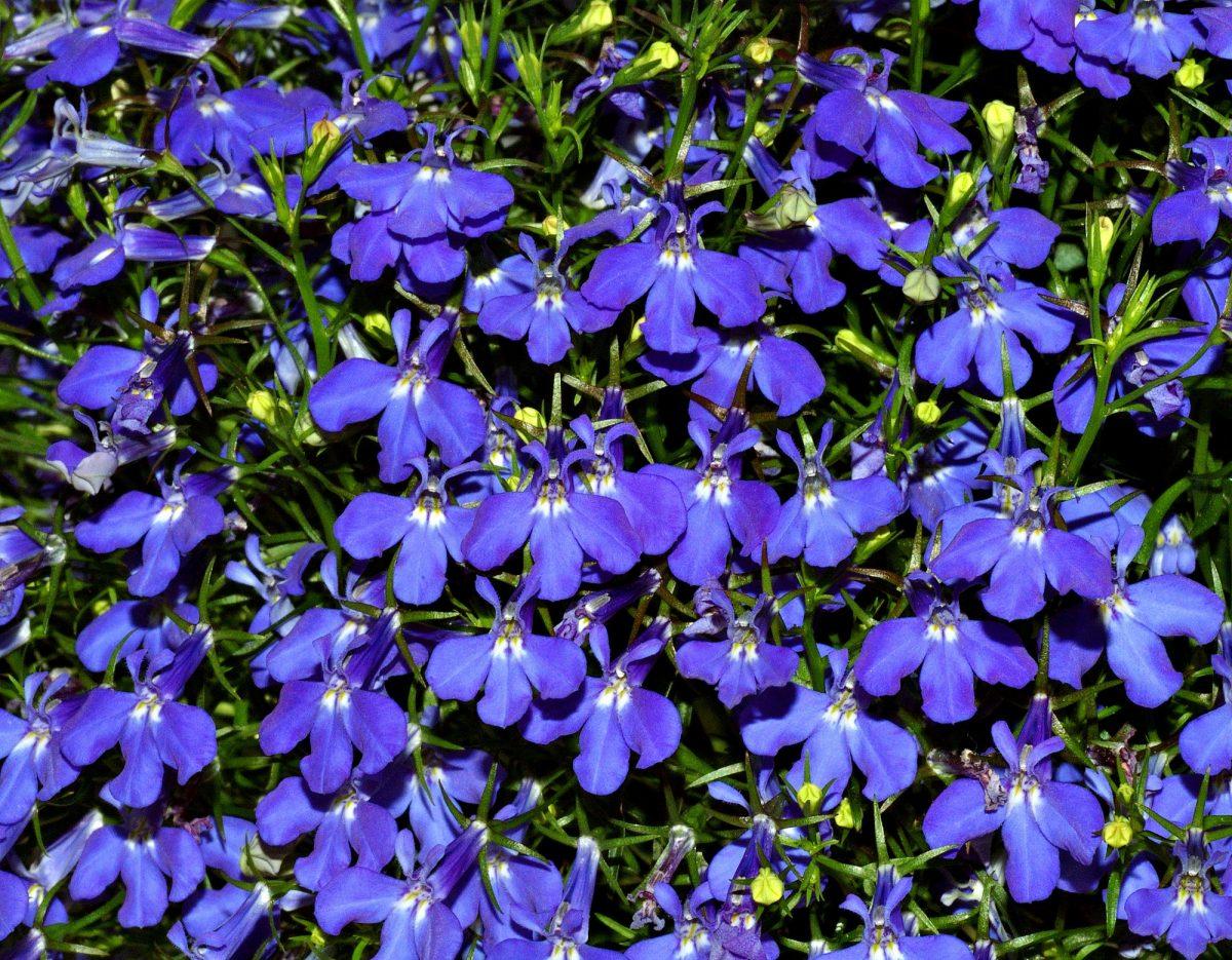 La lobelia tiene flores azuladas o lilas