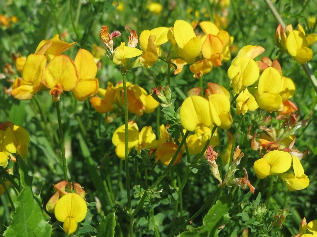 El Lotus corniculatus es una planta preciosa