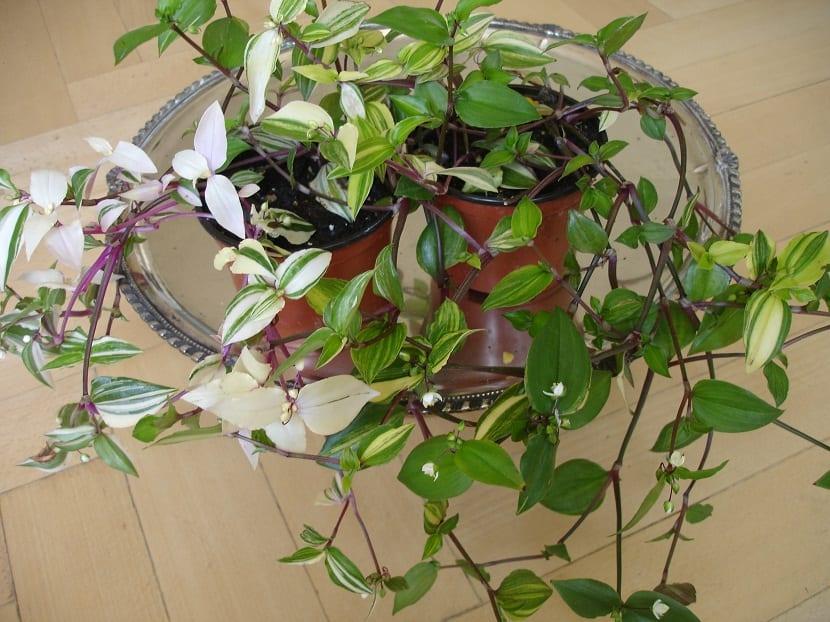 maceta con planta de interior llamada Tradescantia fluminensis