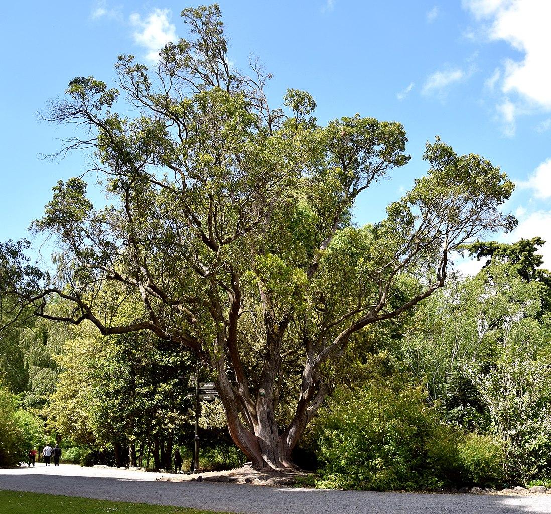 El madroño es un árbol perennifolio
