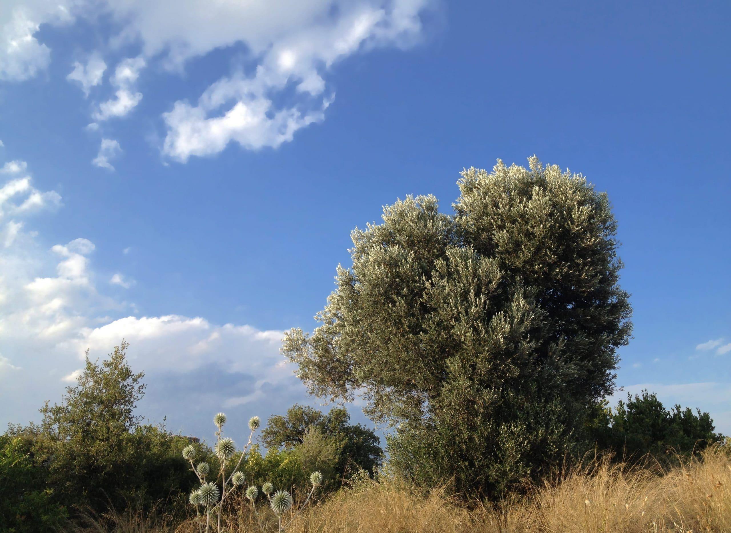 El acebuche es un arbusto grande