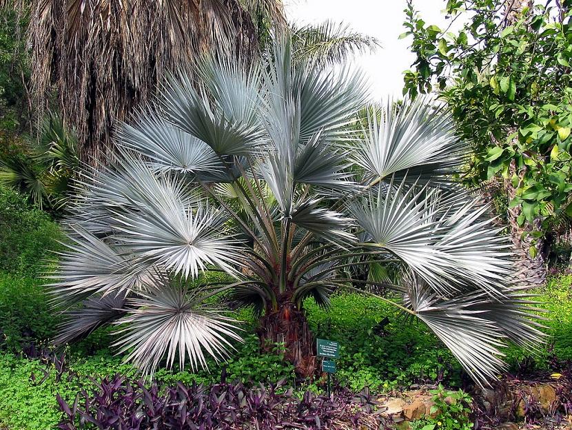 palmera con grandes hojas