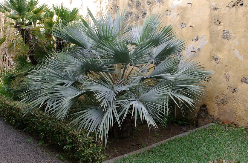 palmera de tamano pequeno en un jardin
