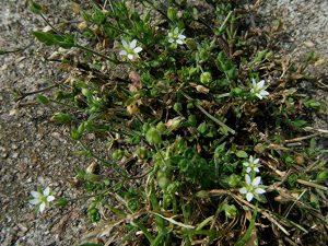 planta herbácea que alegrará tu jardín o patio con facilidad. Su cultivo y sus blancas flores son increíbles
