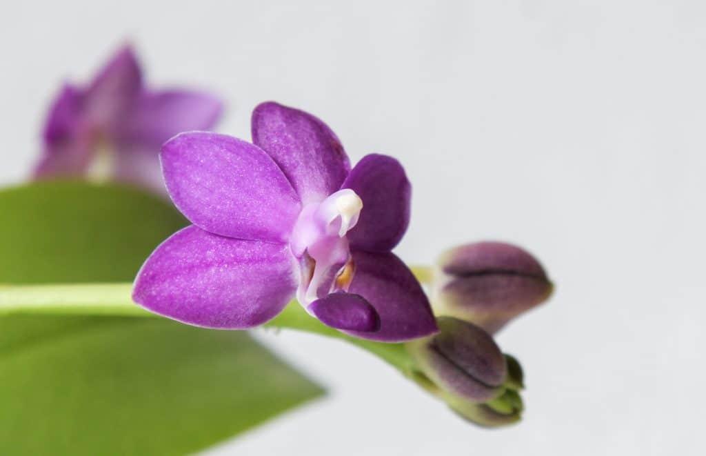 Vista de la Phalaenopsis en flor