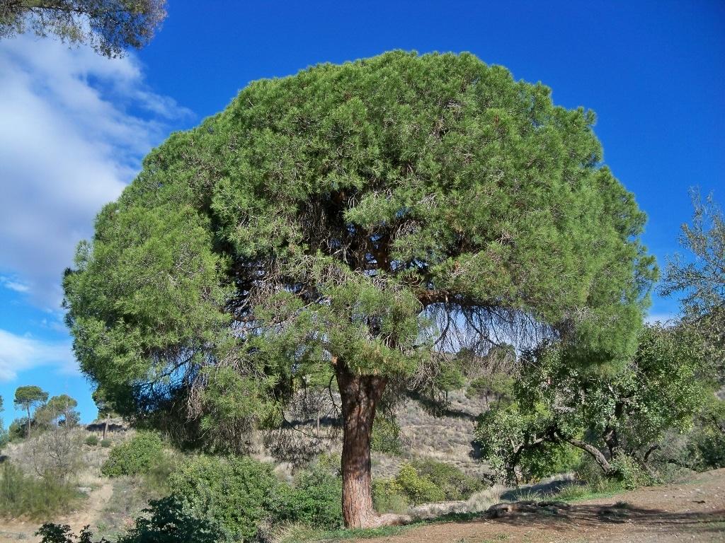 El pino carrasco crece en el mediterráneo