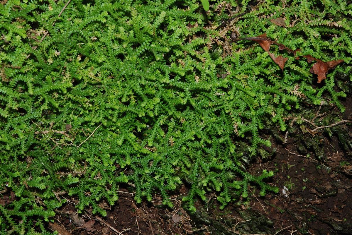 planta tapizante