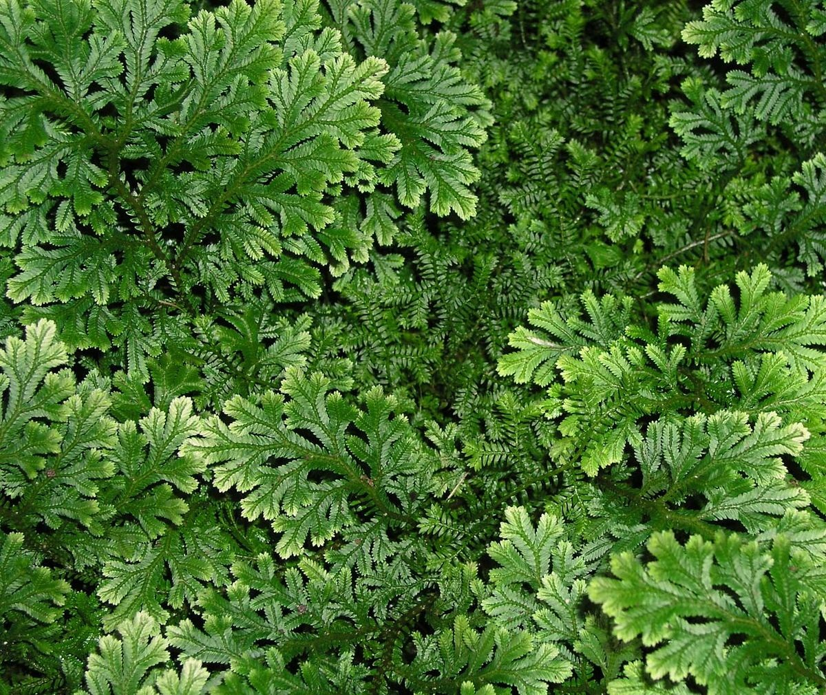 planta decorativa llamada Selaginella
