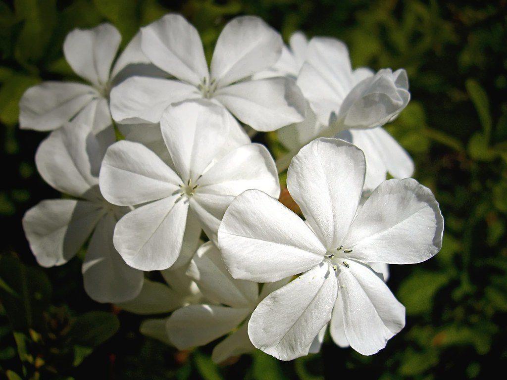 Vista del Plumbago alba, de flores blancas