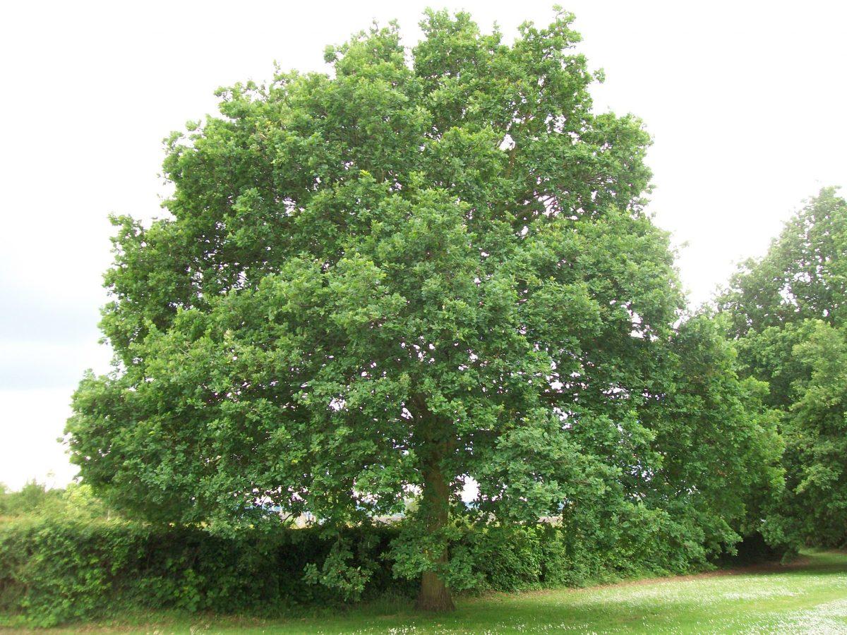 Vista del Quercus robur