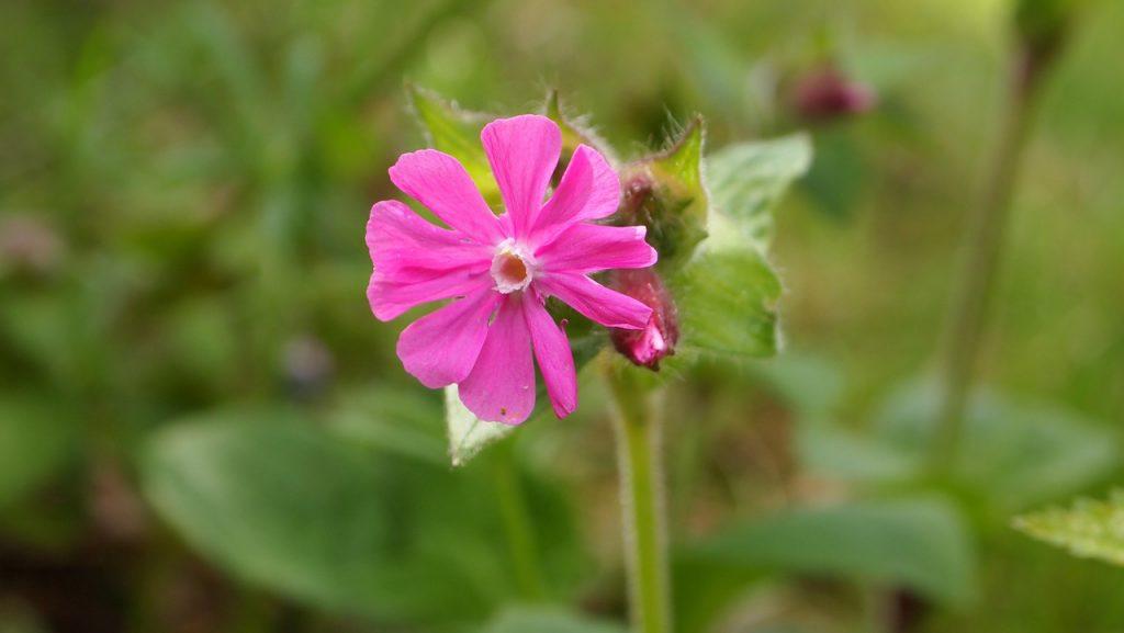 Las flores de la Silene son pequeñas