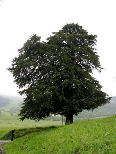 Vista del Taxus baccata o tejo