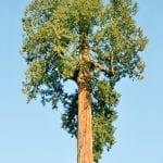 La tuya gigante es un árbol muy grande