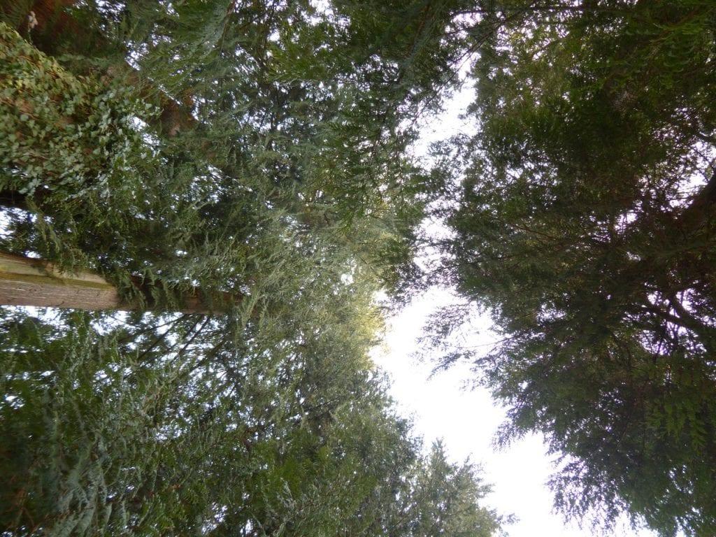 La tuya gigante es un árbol de bosque